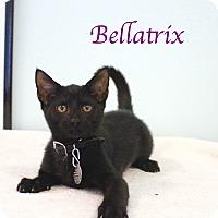Adopt A Pet :: Bellatrix - Bradenton, FL
