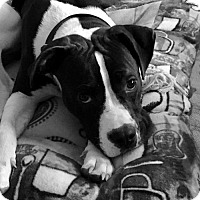 American Staffordshire Terrier Mix Dog for adoption in Spotsylvania, Virginia - Murphy (special needs)