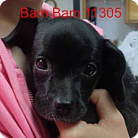 Adopt A Pet :: Bam Bam - Alexandria, VA