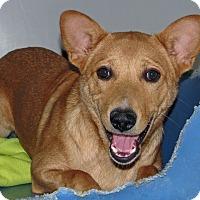 Shepherd (Unknown Type)/Corgi Mix Dog for adoption in Ruidoso, New Mexico - Hobbs