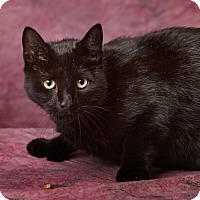 Hemingway/Polydactyl Cat for adoption in Harrisonburg, Virginia - Noir