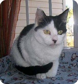 Domestic Shorthair Cat for adoption in Merrifield, Virginia - Susie