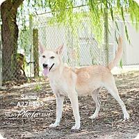 German Shepherd Dog Dog for adoption in Conroe, Texas - SAMMY