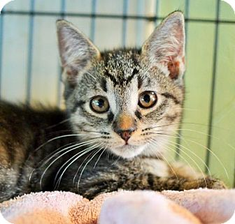 Domestic Shorthair Kitten for adoption in Lake Worth, Florida - Cairo