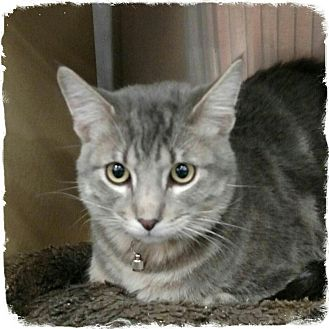Domestic Shorthair Cat for adoption in Pueblo West, Colorado - Rusty
