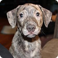 Adopt A Pet :: Poseidon - Millersville, MD