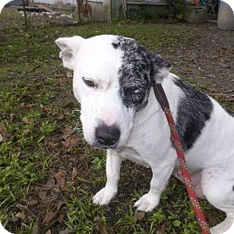Australian Cattle Dog Mix Dog for adoption in Shirley, New York - DIAMOND
