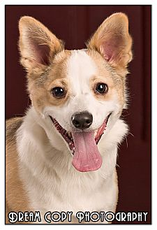 Terrier (Unknown Type, Small)/Corgi Mix Dog for adoption in Owensboro, Kentucky - Bemo