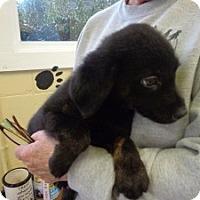 Adopt A Pet :: Cabella - Crawfordville, FL