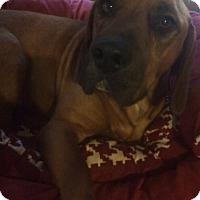 Adopt A Pet :: Charlie Adoption pending - East Hartford, CT