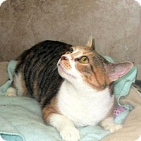 Domestic Shorthair Cat for adoption in Pittsburgh, Pennsylvania - Sophie