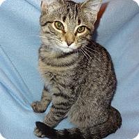 Adopt A Pet :: Polo - Bentonville, AR