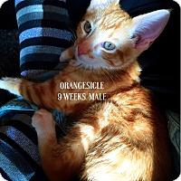 Adopt A Pet :: Orangesicle - Bentonville, AR