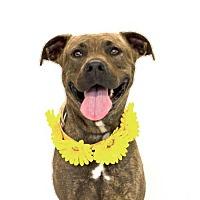 Adopt A Pet :: Daphne - Ocoee, FL