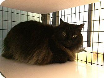Domestic Longhair Cat for adoption in Oak Park, Illinois - Felix