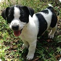 Adopt A Pet :: Doodlebug - Gainesville, FL