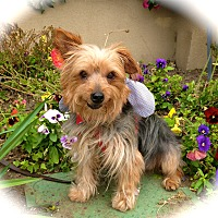 Yorkie, Yorkshire Terrier/Silky Terrier Mix Dog for adoption in Los Angeles, California - Cute Nicky-VIDEO