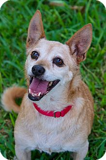 Chihuahua/Terrier (Unknown Type, Medium) Mix Dog for adoption in Miami, Florida - Moose