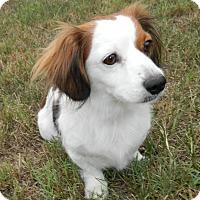 Adopt A Pet :: Furby - Umatilla, FL
