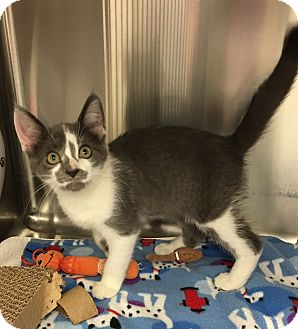 Domestic Shorthair Kitten for adoption in Battle Creek, Michigan - Ricky