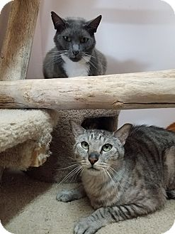 Domestic Shorthair Cat for adoption in Seattle, Washington - Grom