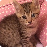 American Shorthair Kitten for adoption in Metairie, Louisiana - Bacardi