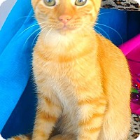 Adopt A Pet :: Baby Katashian Kittens- Lord Discek - Akron, OH