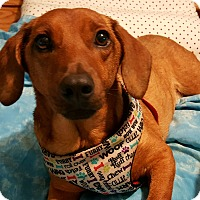 Adopt A Pet :: Elyse - Andalusia, PA
