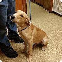 Labrador Retriever Mix Dog for adoption in Burlington, Vermont - Garrett