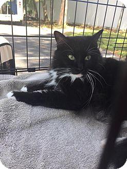 Domestic Longhair Cat for adoption in Sarasota, Florida - Jill