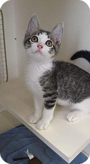 Domestic Shorthair Kitten for adoption in Kansas City, Missouri - Rupert