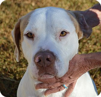 American Bulldog Mix Dog for adoption in Portsmouth, New Hampshire - BERT-ADOPTED