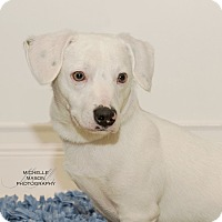 Adopt A Pet :: Snowball - Naperville, IL