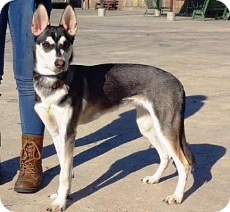Husky Mix Dog for adoption in Lathrop, California - Mika
