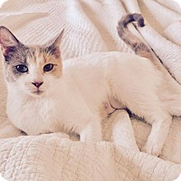 Calico Cat for adoption in Los Angeles, California - Cleopatra
