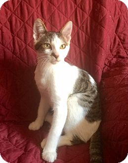 Domestic Shorthair Kitten for adoption in Corona, California - JACK