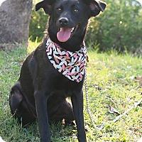 Adopt A Pet :: Bling - San Mateo, CA