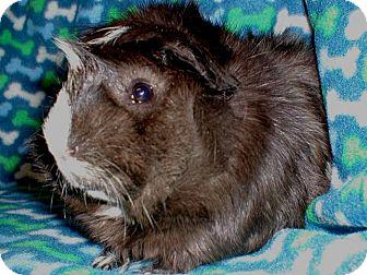 Guinea Pig for adoption in Steger, Illinois - Edgar