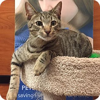 Domestic Shorthair Cat for adoption in Smyrna, Georgia - Chip