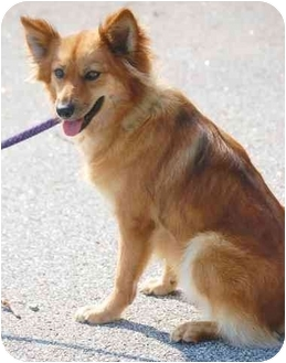 Ruby | Adopted Dog | Inman, SC | Pomeranian/Finnish Spitz Mix