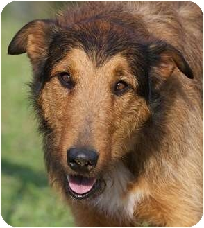 Whelan | Adopted Dog | Providence, RI | Collie/Airedale ...