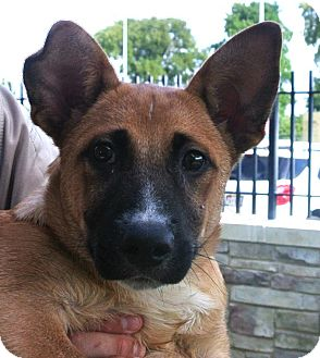 Shepherd (Unknown Type) Mix Puppy for adoption in white settlment, Texas - Baxter