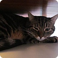 Domestic Shorthair Cat for adoption in Corinth, New York - Tiger Lily