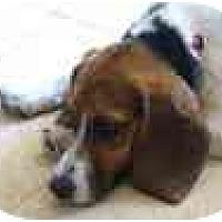 Adopt A Pet :: Mulder - Phoenix, AZ