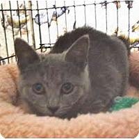Adopt A Pet :: Indigo - Colmar, PA
