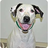 Adopt A Pet :: Miley - Port Washington, NY
