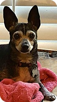 Chihuahua Mix Dog for adoption in Arcadia, California - Little Man