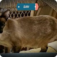 Adopt A Pet :: Siri - Fairborn, OH