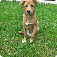 Adopt A Pet :: Roko - New Oxford, PA
