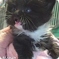 Adopt A Pet :: MONET - Cliffside Park, NJ